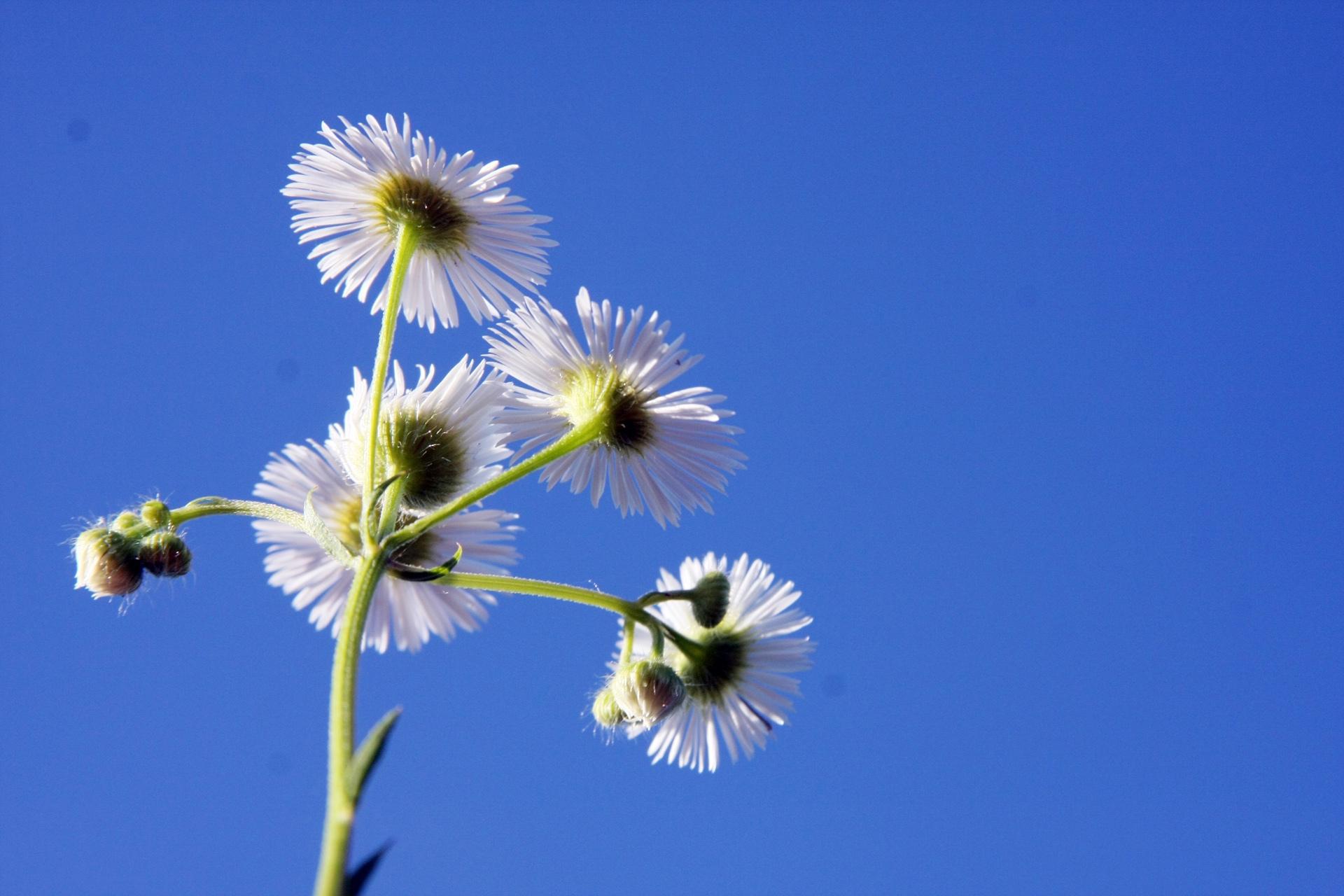 Nature Daisy Small
